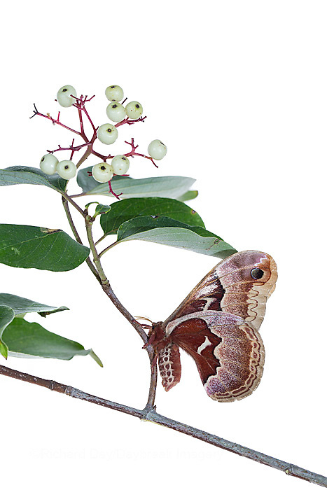 30040-00218 Promethea Moth (Callosamia promethea) female on Gray Dogwood (Cornus racemosa) on white background, Marion