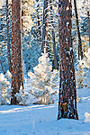 Frost covered trees and branches in a forest in Montana