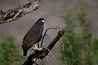 Common Black Hawk, Big Bend National Park