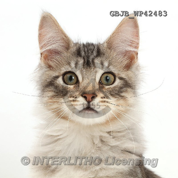 Kim, ANIMALS, REALISTISCHE TIERE, ANIMALES REALISTICOS, fondless, photos,+Silver tabby kitten, Loki, 3 months old,++++,GBJBWP42483,#a#