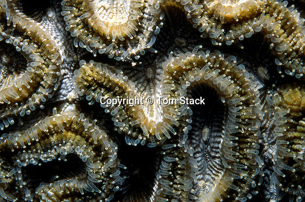 Brain coral polyps extended at night