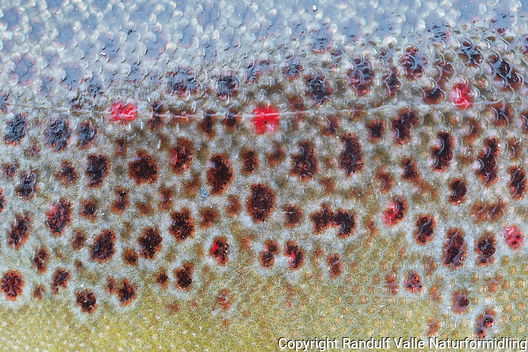 Nærbilde av ørret. ----- Close up of trout.