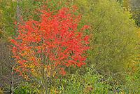 Rowan Tree (Mt. Ash) in Autumn, Scotland