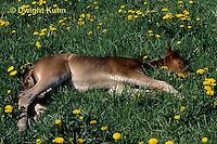 SH08-018z  Arabian Horse - new born foal resting