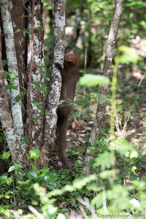Indian Gray Mongoose, Herpestes edwardsii, climbing up a tree trunk, Wilpattu National Park, Sri Lanka