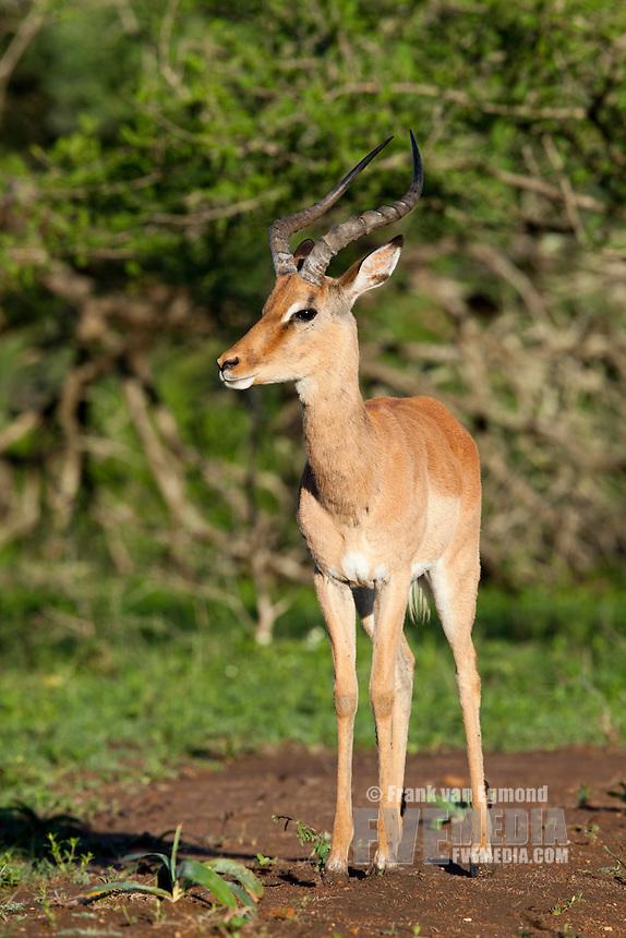 Impale male (Aepyceros Melampus)...Hluhluwe Imfolozi Game Reserve..Kwazulu-Natal, South Africa..November 2010.