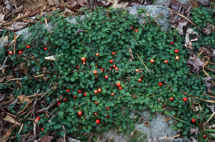 Mitchella repens (Patridgeberry) in berry