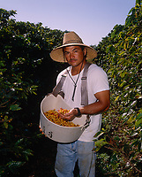 Plantation worker with basket full of ripe Kona Coffee Beans, Big Island, Hawaii, USA.