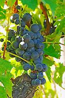 Muscat Noir!. Also something left from a previous period when grape selection was more surprising or liberal - Chateau La Grave Figeac, Saint Emilion, Bordeaux