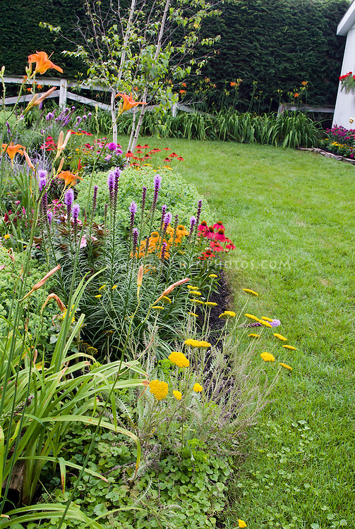 Backyard mulched garden bed with old-fashioned and heirloom plants, lawn grass, shrubs, Hemerocallis daylilies, Liatris, lawn grass, Echinacea, Achillea, perennial flower garden with privacy hedge