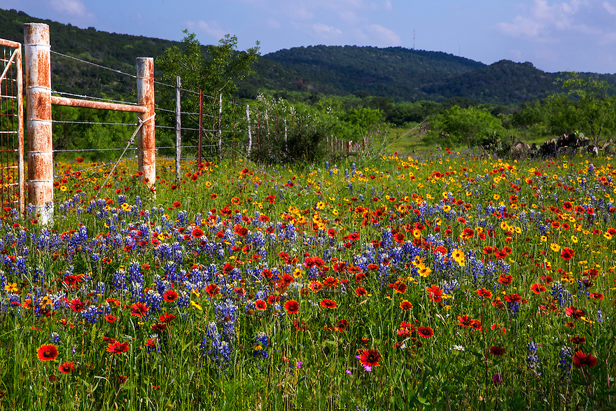 Rustic Barb Wire Fence Is Surrounded By A Vivid Colorful Wildflower Field Of Bluebonnets Indian