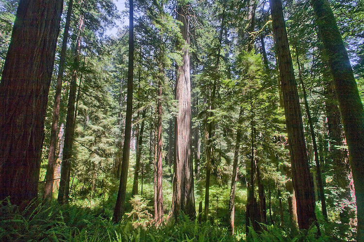 California Redwood Trees Old Growth Forest Prairie