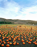 USA, California, Half Moon Bay, pumpkins in a field at Bob's Pumpkin Patch