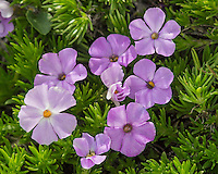 Phlox or spreading phlox [ phlox difusa ].  Pacific Northwest.