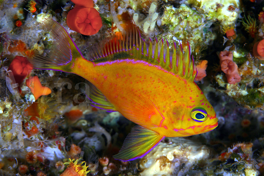 This deepwater anthias (endemic) Holanthias fuscipinnis was first identified with submersibles. To this date only a handful of photographers have had the chance to record this species on film. Hawaii.<br />