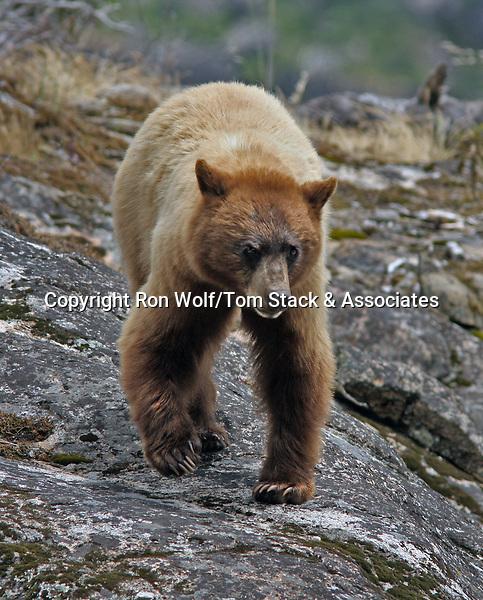 American Black Bear (Ursus americanus). Hetch Hetchy Valley. Yosemite National Park. Tuolumne Co., Calif.