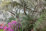 Azaleas and Live oaks with Spanish moss at Magnolia Plantation and Gardens in  Charleston, South Carolina, USA