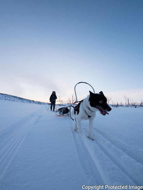 Mann med pulk, ski og grønlandshund i Gallokområdet. ---- Man with skis and greenland dog.