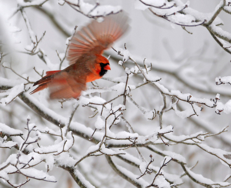 A cardinal flies pasts branches covered with fresh snow on Monday, January 18, 2010.