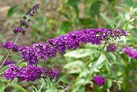 Butterfly Bush Buddleja davidii