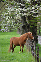 Horse in meadow, Cades Cove, Great Smoky Mountains National Park, TN