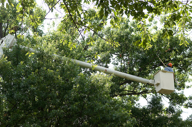 """Richard Prince of the AOC Tree Division works from a """"cherry picker"""" in the Upper Senate Park."""