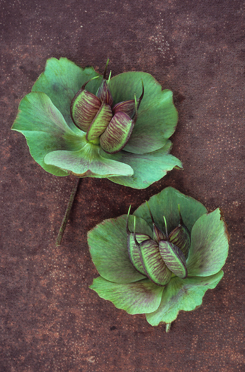 Two flowers of Lenten rose or Helleborus orientalis turned from burgundy red to green as seedpods develop lying on dark red board