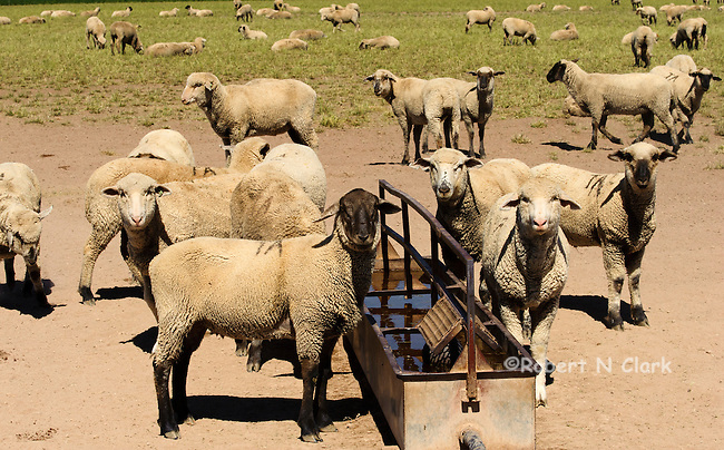 Sheep feeding, watering and resting in an alfalfa field