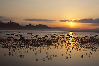 Shorebirds feeding and resting on estuary mud flats.  Sunrise.  Grays Harbor National Wildlife Refuge, Washington.  Shorebird migration.  Spring.