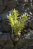 Fazenda Bauplatz, Brazil. Spiky side shoot of araucaria.