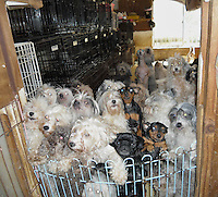 Some of the 140 pedigree dogs at a dog breeders who abandoned them after the earthquake that ARK are rescuing, Miyaki, Japan.  Since  the earthquake and tsunami thousands pets have been deserted and lost their home when their owners were forced live in evacuation shelters...PHOTO BY SINOPIX
