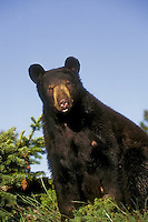 Black Bear (Ursus americanus), summer, Rocky Mountains, North America.