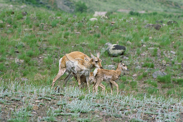 Pronghorn Antelope (Antiloapra americana) doe with twins.  Western U.S., June.