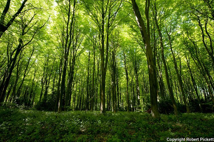 Woodlands landscape, Spring, Bonsai Bank, Denge Woods, Kent UK