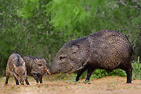 650520295 wild javelinas or collared peccaries dicolytes tajacu forage near a waterhole on santa clara ranch in starr county rio grande valley texas united states