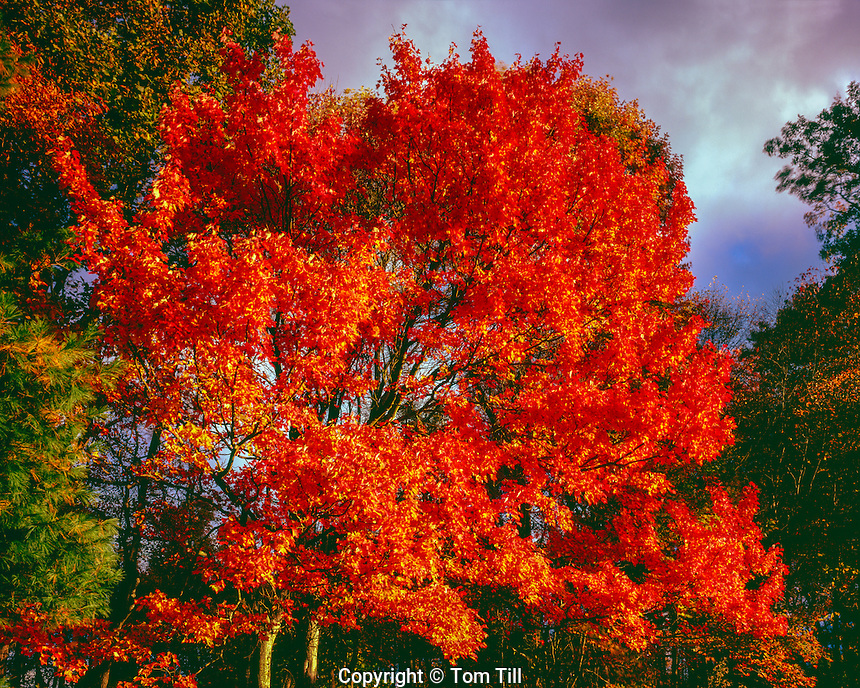 Maple tree at sunset, Blue Ridge Parkway, Virginia, near Mabry Mill, Southern Appalachian Mountains, acer saccharum