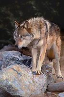 694929434 an adult gray wolf canis lupus stands on a small pile of boulders in its enclosure at a wildlife rescue facility - species is endangered in the wild