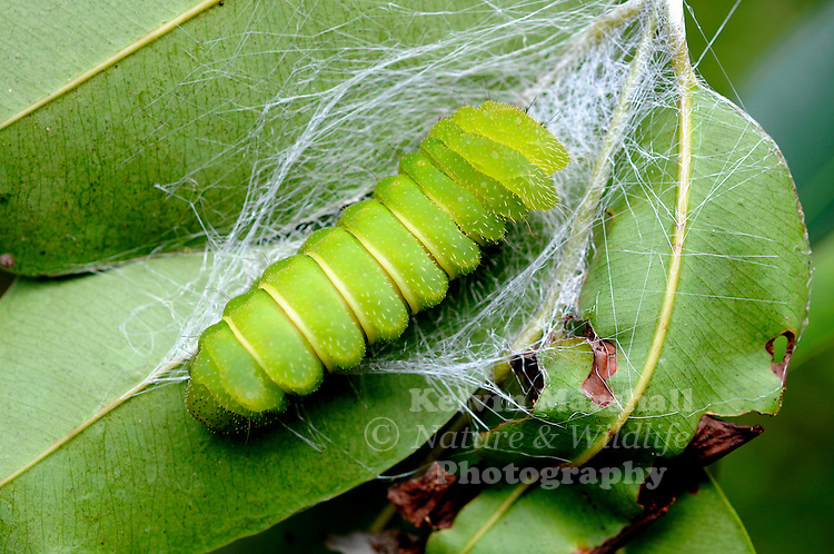 Madagascar Moon Moth or Comet Moth (Argema mittrei) - caterpillar pupating - Ankarana Reserve - Northern Madagascar.