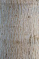 Walnuss, Walnuß, Wal-Nuss, Wal-Nuß, Rinde, Borke, Stamm, Baumstamm, Juglans regia, Walnut, bark, rind, trunk, stem, Noyer commun