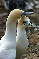 Australasian Gannet Colony at Cape Kidnappers, New Zealand