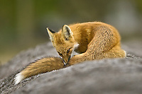 Red Fox takes some time to keep its fur clean