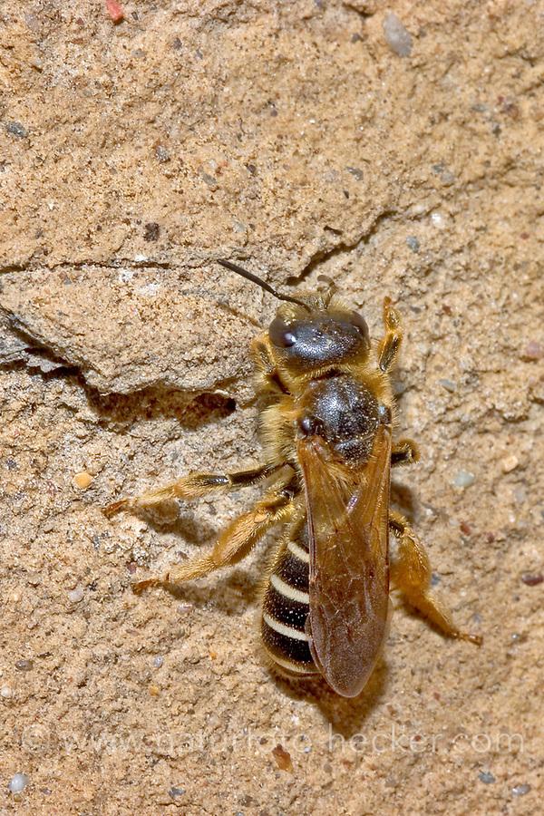 Vierbindige Furchenbiene, Furchenbiene, Furchenbienen, Halictus quadricinctus, Giant Furrow-Bee