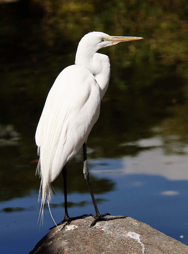 Great egret, photographed at the San Diego Wild Animal Park