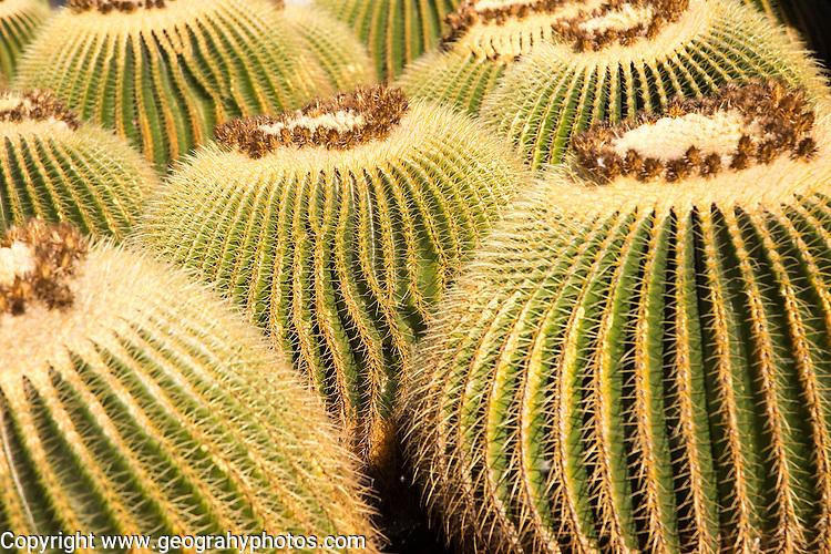 Cactus plants inside Jardin de Cactus designed by César Manrique, Guatiza, Lanzarote, Canary Islands, Spain. Cactaceae, Echinocactus grusonil, from San Luis de Potosi-Hidalgo, Mexico