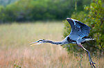 great blue heron Everglades National Park