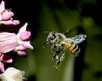 1B05-004z Honeybee flying to milkweed flower - Apis mellifera