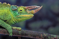 JACKSON'S CHAMELEON. Male..Eastern Africa & Introduced to Hawaii. Captive..(Chamaeleo jacksonii).