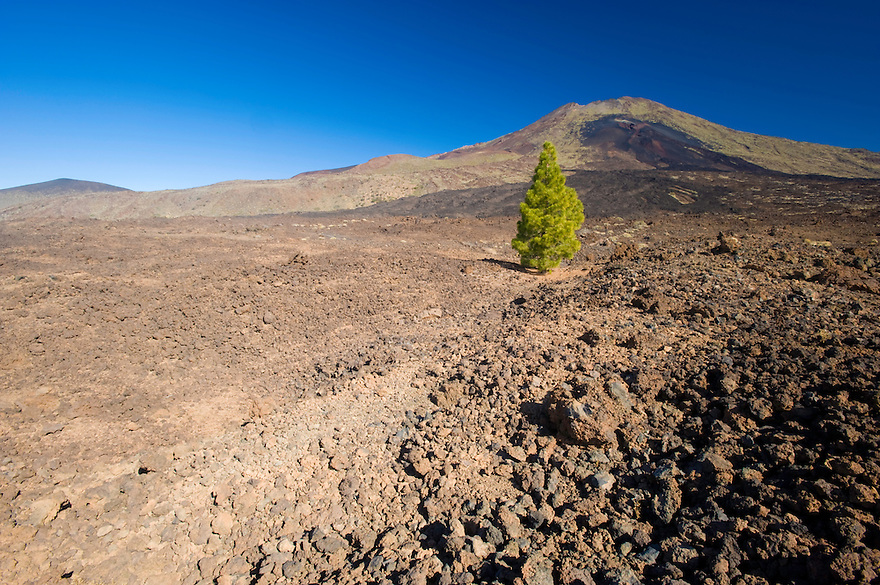 Canary pine (Pinus canariensis) over the black lava in the Pico Viejo Volcano, Teide National Park, Tenerife Island, Canary Islands, Spain.