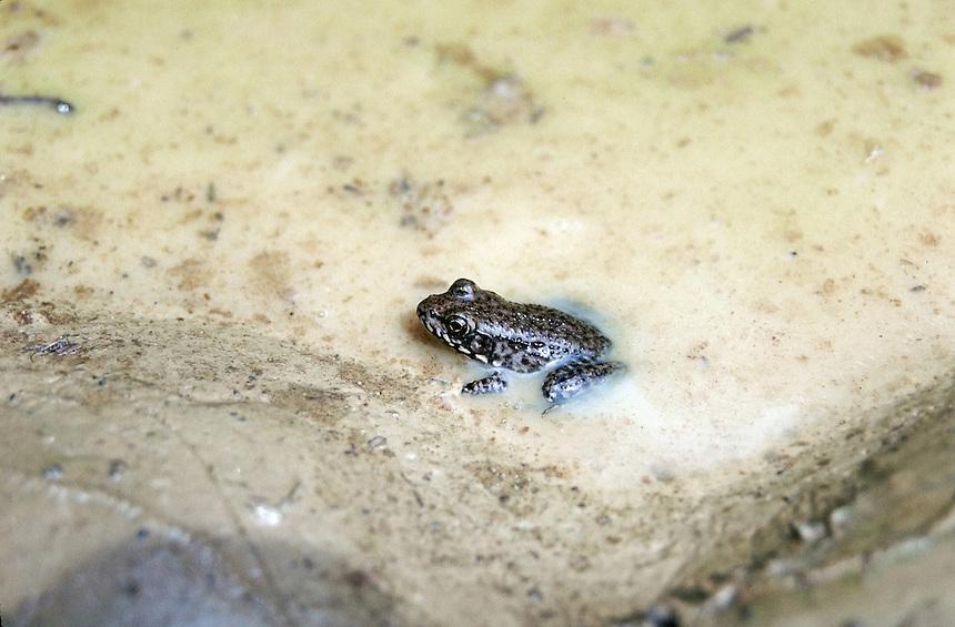 Chorus frog, Dagmar WMA, Arkansas.