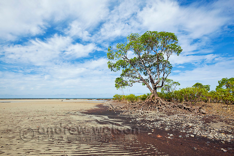 Mangrove trees at Myall Beach at low tide.  Cape Tribulation, Daintree National Park, Queensland, Australia